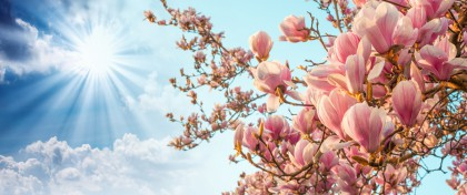 Come le magnolie